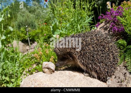 western hedgehog, European hedgehog (Erinaceus europaeus), with banded snail, Germany - Stock Photo