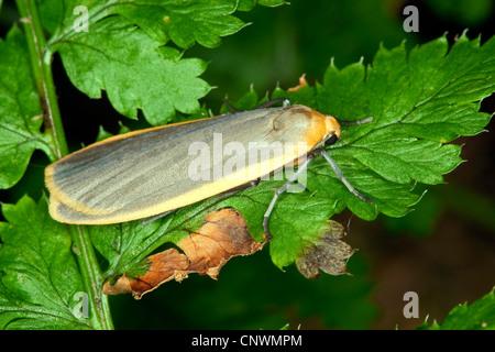 common footman (Eilema lurideola, Lithosia lurideola), resting on a leaf, Germany - Stock Photo