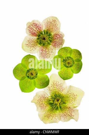 hellebore (Helleborus spec.), cut out of a flower - Stock Photo