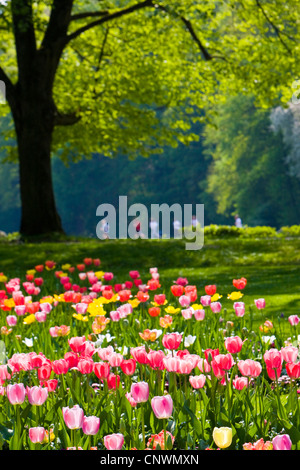 common garden tulip (Tulipa gesneriana), tulip garden in the Klosterwiese jogger in the background, Germany, Baden - Stock Photo