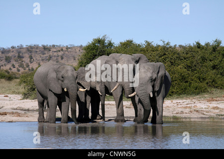 African elephant (Loxodonta africana), herd at water place, Botswana, Chobe National Park, Savuti Reservat - Stock Photo