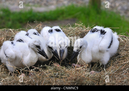 white stork (Ciconia ciconia), four chicks in the nest, Germany