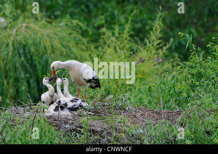 white stork (Ciconia ciconia), adult with three juveniles, feeding, Germany