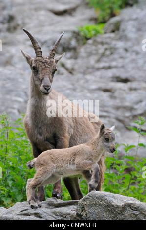 alpine ibex (Capra ibex), mother with juvenile, Alps - Stock Photo