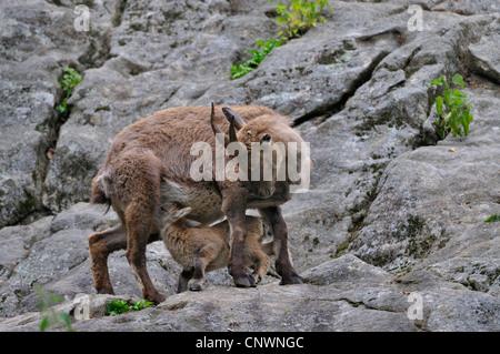 alpine ibex (Capra ibex), mother with juvenile suckling, Alps - Stock Photo