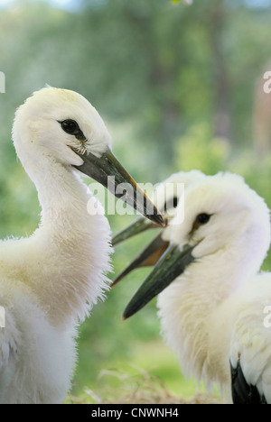 white stork (Ciconia ciconia), four juveniles, Germany