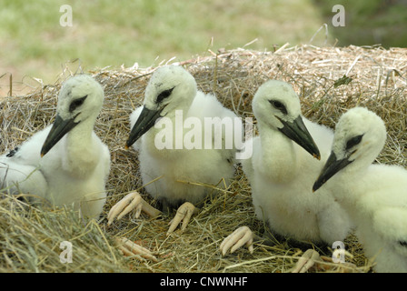 white stork (Ciconia ciconia), four juveniles sitting in the nest, Germany