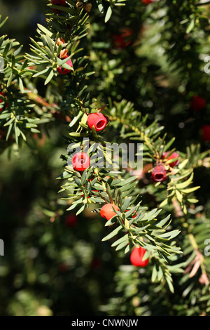 English Yew, Taxus baccata, Taxaceae, Central Europe - Stock Photo