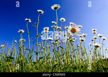 oxeye daisy (Chrysanthemum leucanthemum, Leucanthemum vulgare), blooming in a meadow, Switzerland - Stock Photo