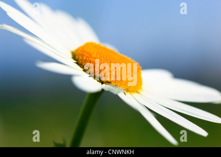 oxeye daisy (Chrysanthemum leucanthemum, Leucanthemum vulgare), macro shot of blooming inflorescence, Switzerland - Stock Photo