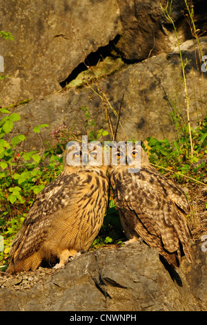 northern eagle owl (Bubo bubo), two young birds sitting closely together on a rock spur in the evening sun, Germany, - Stock Photo