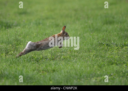 European rabbit (Oryctolagus cuniculus), fleeing, Austria, Burgenland - Stock Photo