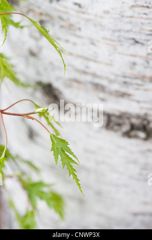 Betula pendula dalecarlica. Swedish cut leaf birch - Stock Photo