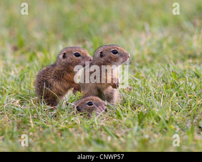 European ground squirrel, European suslik, European souslik (Citellus citellus, Spermophilus citellus), three juveniles - Stock Photo