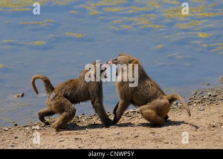 yellow baboon, savannah baboon, anubius baboon, olive baboon (Papio anubis, Papio cynocephalus anubis), two arguing - Stock Photo