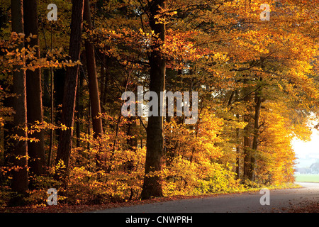 common beech (Fagus sylvatica), beech forest edge in autumn colors, Germany, Bavaria - Stock Photo