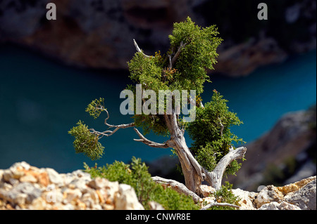 juniper at the canyon of Verdon in south east of France, France, Provence - Stock Photo