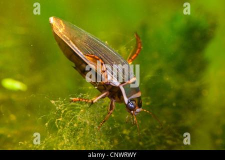 great diving beetle (Dytiscus marginalis), female, Germany, Bavaria - Stock Photo