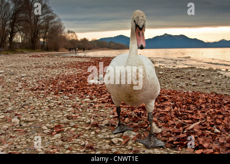 mute swan (Cygnus olor), walking on the waterfornt of a lake, Alps in the background, Germany, Bavaria, Chiemsee - Stock Photo