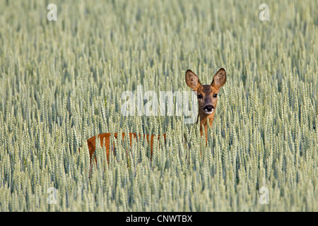 Roe deer (Capreolus capreolus) female in cornfield on farmland, Germany - Stock Photo