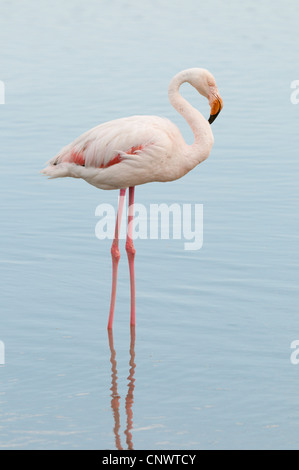 greater flamingo (Phoenicopterus roseus, Phoenicopterus ruber roseus), standing in the water, resting, France, Camargue - Stock Photo
