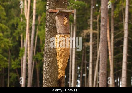 hornet brown hornet european hornet vespa crabro