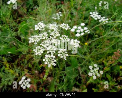 bullwort, toothpick ammi, Bishop's flower (Ammi majus), blooming, Canary Islands, Gomera