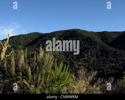 tree heath (Erica arborea), blooming in garajonay National Park, Canary Islands, Gomera, Garajonay National Park - Stock Photo