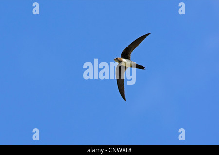 alpine swift (Apus melba, Tachymarptis melba), flying, Greece, Lesbos, Eressos - Stock Photo