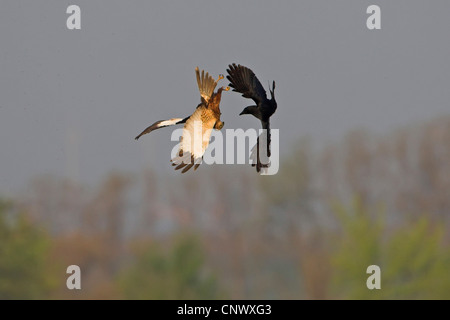 western marsh harrier (Circus aeruginosus), in an aerial fight with a carrion crow, Germany, Rhineland-Palatinate - Stock Photo