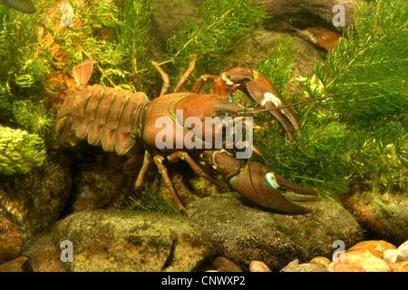 signal crayfish (Pacifastacus leniusculus), big male among water plants, Germany, Bavaria - Stock Photo