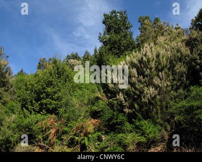 tree heath (Erica arborea), Laura Silva in Garajonay National Park with blooming Tree Heath, Canary Islands, Gomera, - Stock Photo