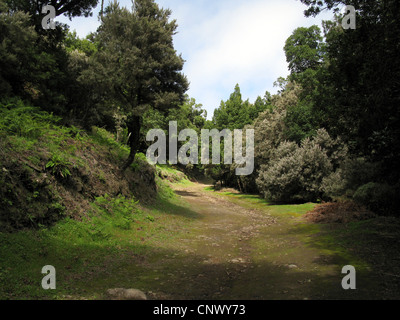 tree heath (Erica arborea), trekking path in Laura Silva in Garajonay National Park with blooming Tree Heath, Canary - Stock Photo