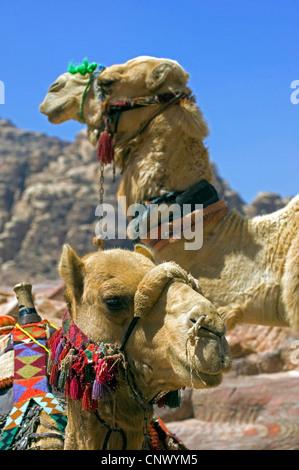 dromedary, one-humped camel (Camelus dromedarius), heads of two mounts, Jordan, Petra - Stock Photo