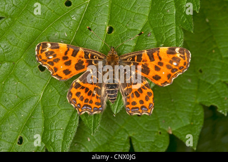 map butterfly, spring form (Araschnia levana f. levana), sitting on a leaf, Germany - Stock Photo