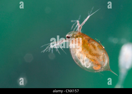 common water flea (Daphnia pulex), female with juveniles in its brood pouch - Stock Photo