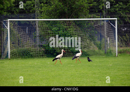 white stork (Ciconia ciconia), two white storks and one carrion crow walking on the lawn of a football field in - Stock Photo