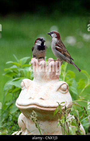 house sparrow (Passer domesticus), two birds sitting on terracotta garden figure showing the Frog King, Germany - Stock Photo