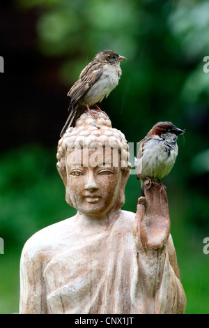 house sparrow (Passer domesticus), two birds sitting on the head of a terracotta buddha statue in the garden , Germany - Stock Photo