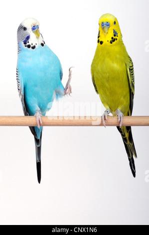 budgerigar, budgie, parakeet (Melopsittacus undulatus), two budgies sitting on wooden bar - Stock Photo