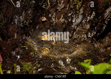 European robin (Erithacus rubecula), nest on the ground with chicks, Germany, Bavaria, Nasenbach - Stock Photo