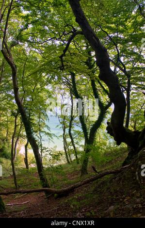 beech forest in Jasmund National Park, Germany, Mecklenburg-Western Pomerania, Ruegen, Jasmund National Park - Stock Photo
