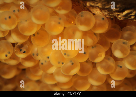 Miller's thumb, bullhead (Cottus gobio), eggs in a cave, Germany - Stock Photo