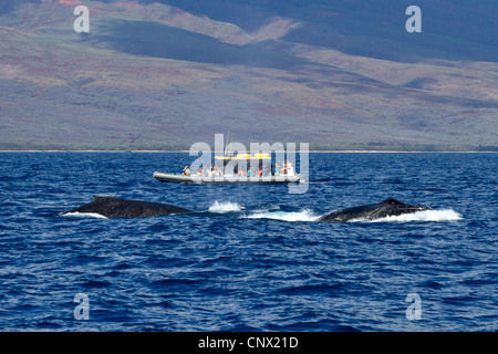 humpback whale (Megaptera novaeangliae), Whale Watching, tourist boat beside twi whales, USA, Hawaii, Maui - Stock Photo