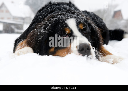 Bernese Mountain Dog (Canis lupus f. familiaris), lying in the snow - Stock Photo
