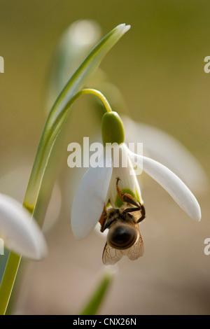 common snowdrop (Galanthus nivalis), flower with honey bee, Germany - Stock Photo