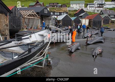 long-finned pilot whale, pothead whale, caaing whale, longfin pilot whale, Atlantic pilot whale, blackfish (Globicephala - Stock Photo