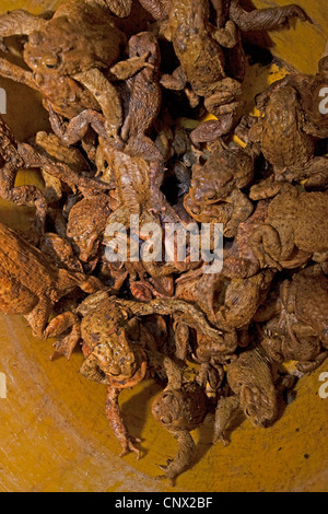 European common toad (Bufo bufo), view into a bucket full of toads collected during a toad migration to carry them - Stock Photo