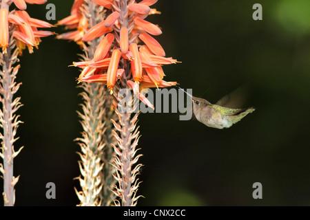 Ruby-throated hummingbird (Archilochus colubris), female flying in front of Aloe flowers, USA, Arizona - Stock Photo