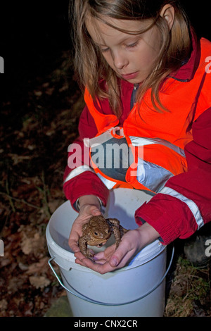 European common toad (Bufo bufo), girl squatting at the edge of a pond during a toad migration collecting toads into buckets to carry them over a road, Germany, North Rhine-Westphalia